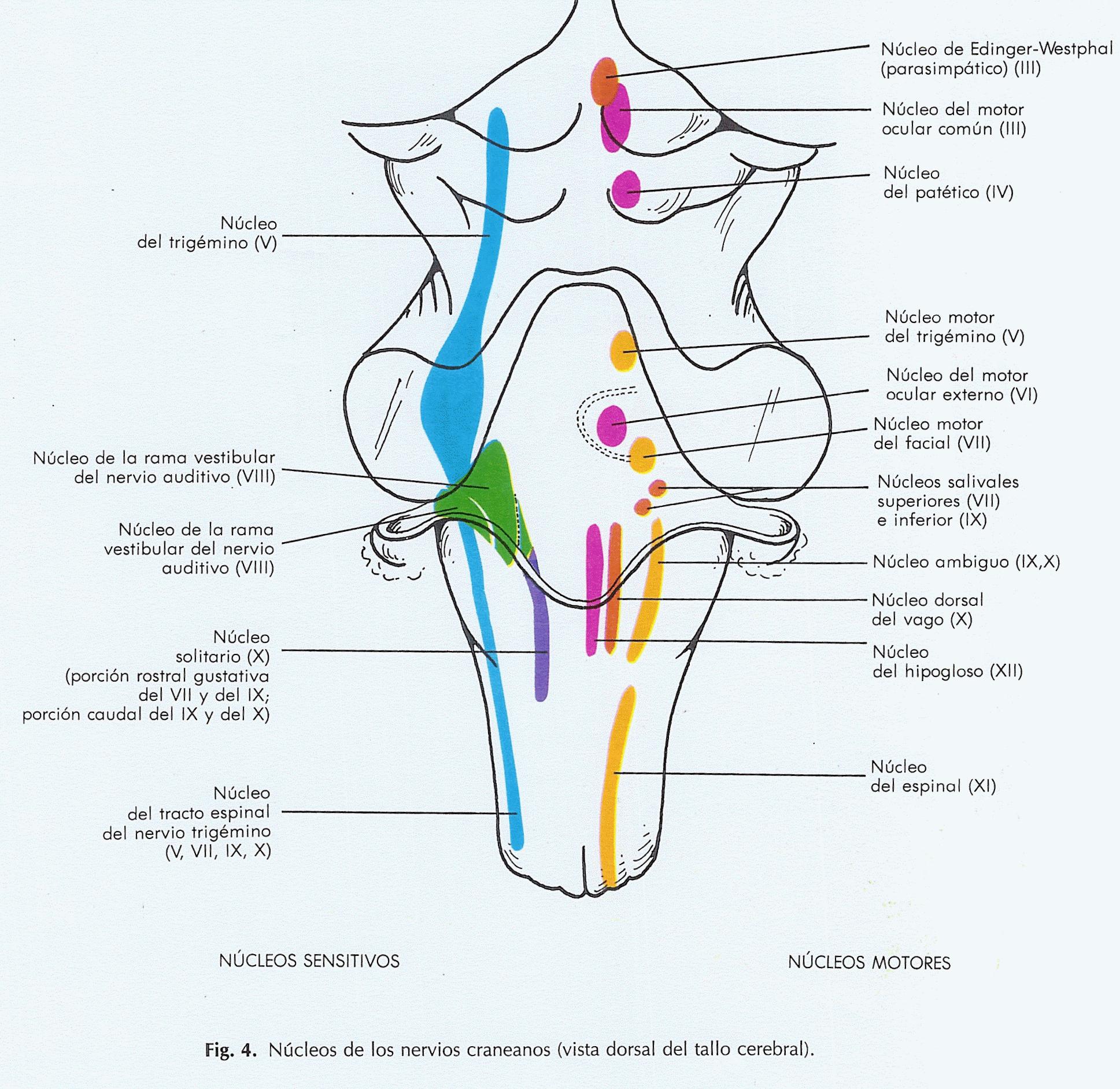 Resultado de imagen de pares craneales tronco encefalico | Anatomía ...