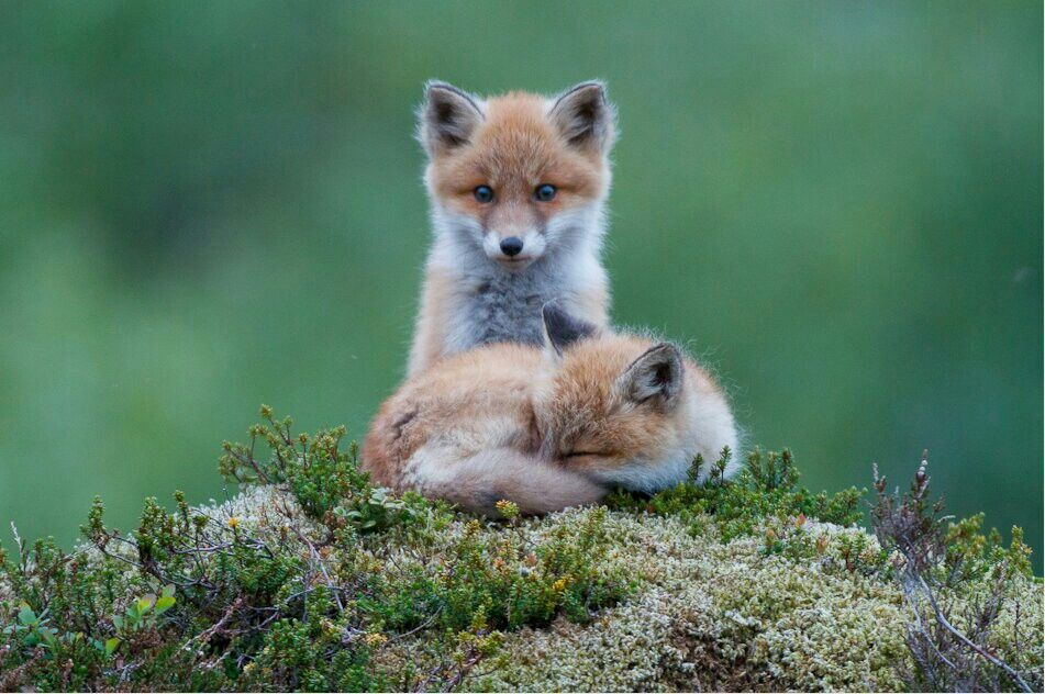 Baby red foxes, cute.