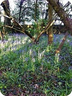 Bluebells at Ballymaloe House