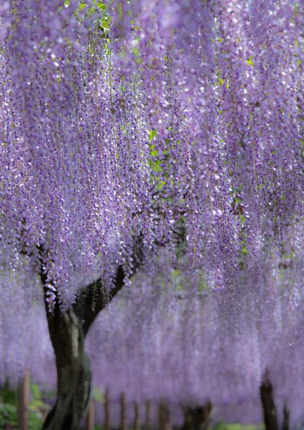 how to make wisteria bloom
