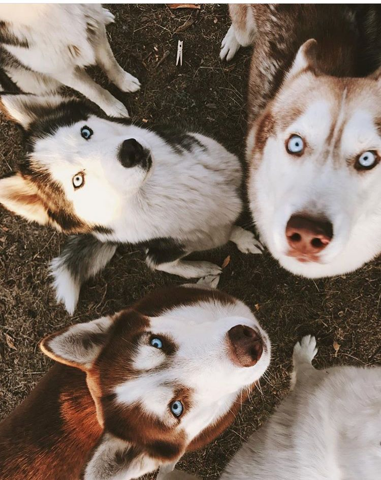 Dogflour Siberian Husky Puppies Cute Animals Pretty Dogs