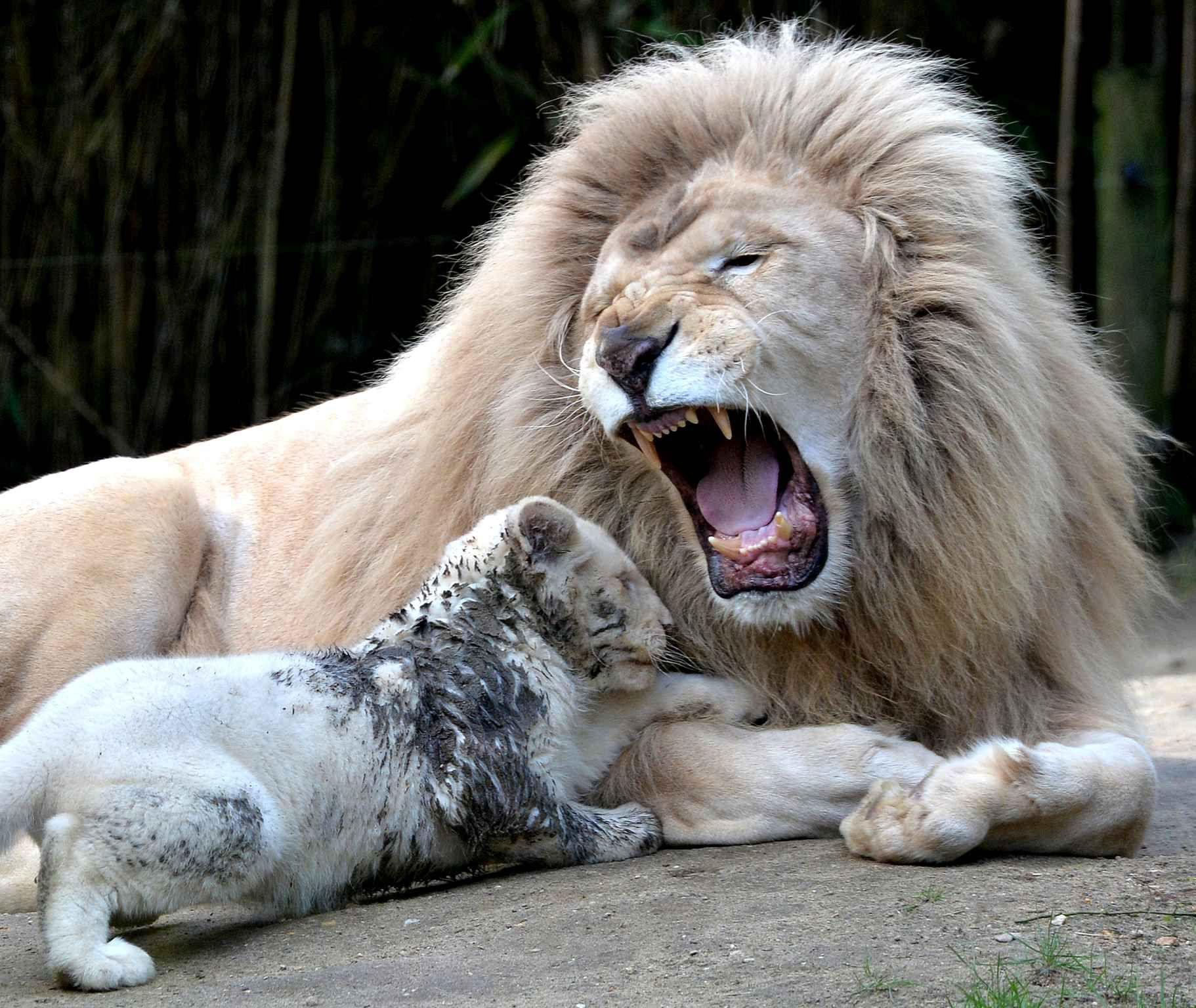 au zoo de la fl che en france ce papa lion n 39 a pas envie d 39 tre t ch par son b b de trois. Black Bedroom Furniture Sets. Home Design Ideas