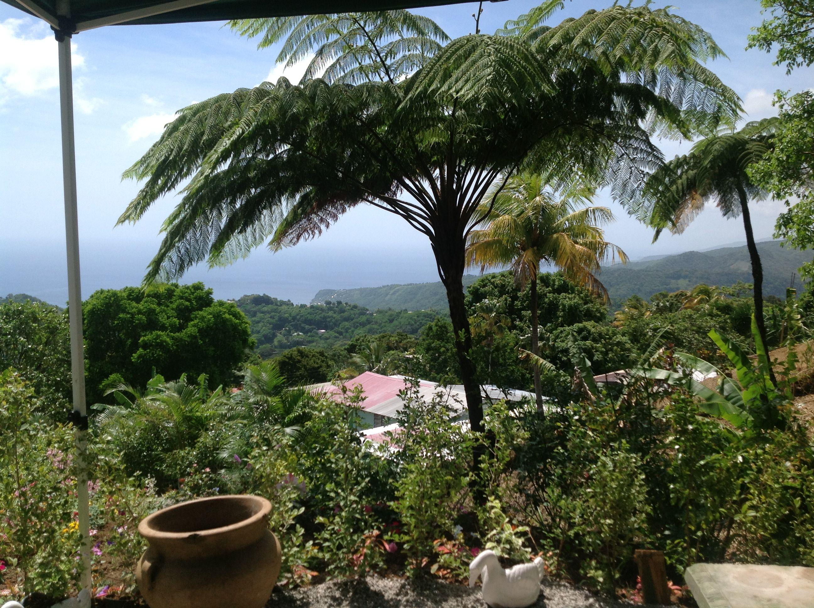 Ferne tree. Giraudel village. Commonwealth of Dominica