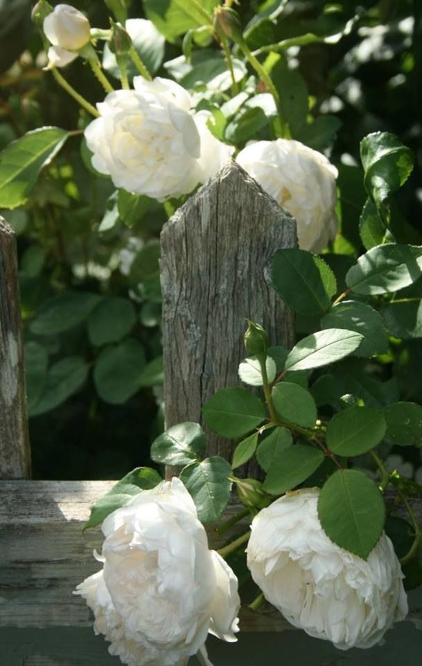 wooden fence post with white flowers