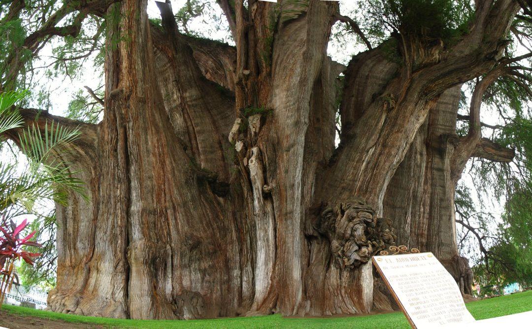El tronco m s grande del mundo este ahuehuete conocido for Como obtiene su alimento un arbol
