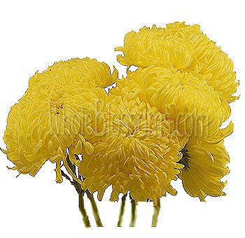 Fuji mums flowers mums wedding flowers yellow cremon flower fuji mums flowers mums wedding flowers yellow cremon flower mightylinksfo