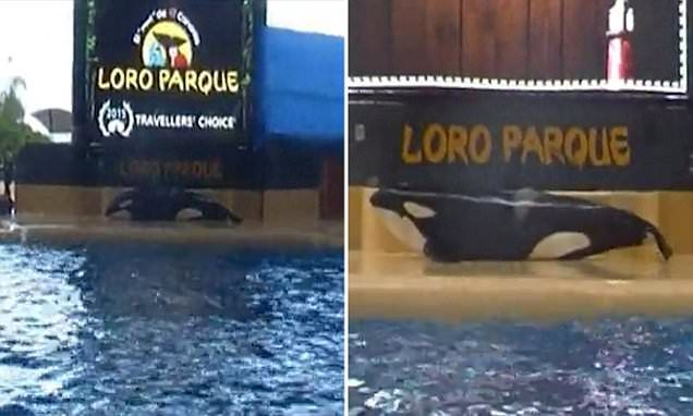 WTF!!!!!! Captive whale lies motionless after beaching herself at Tenerife park #DailyMail