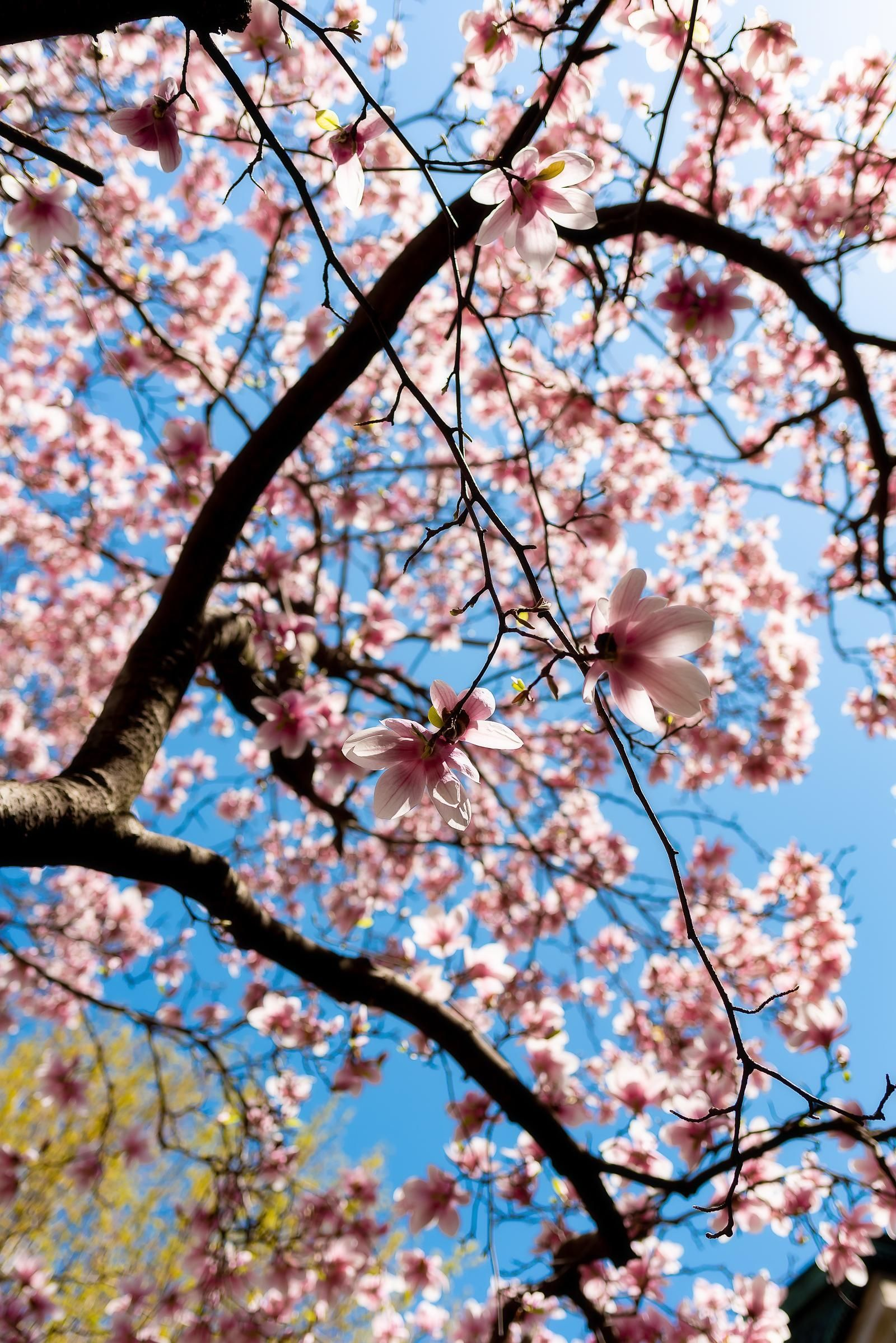Cherry Trees Are Blooming In Jackson Park But Not For Long Hyde Park Dnainfo Chicago Cherry Tree Bloom Park
