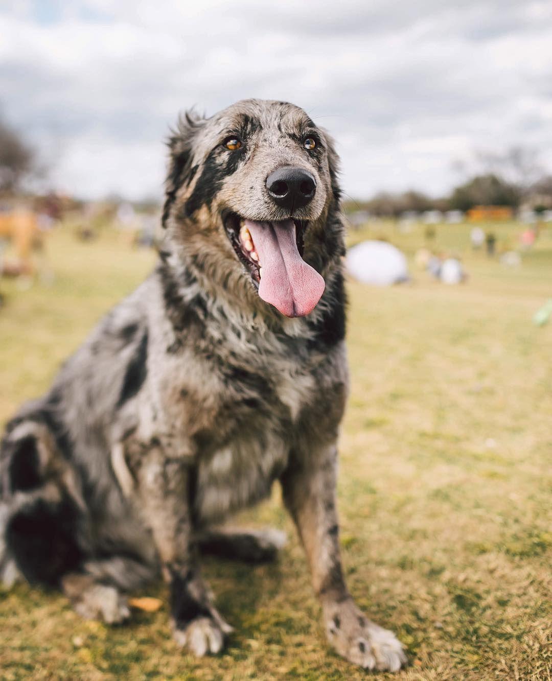 Zilker Bark On Instagram Gylfi The 4yrs Catahoula Border Collie Aussie Mix Hybrid Dogs Catahoula Catahoula Mix