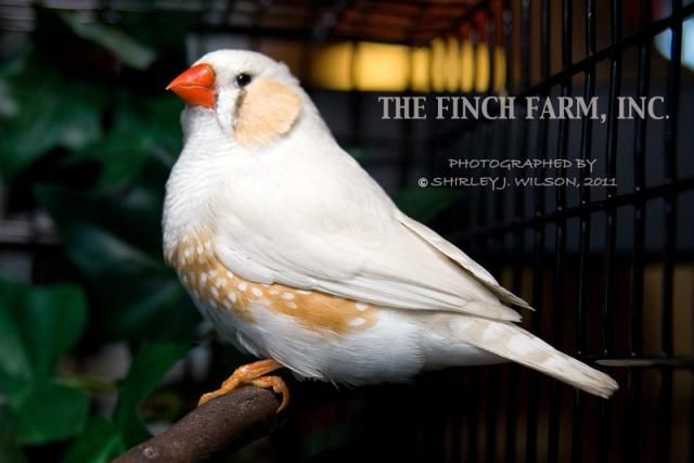 Chestnut White Flanked Zebra Finch | Birds of a Feather ...