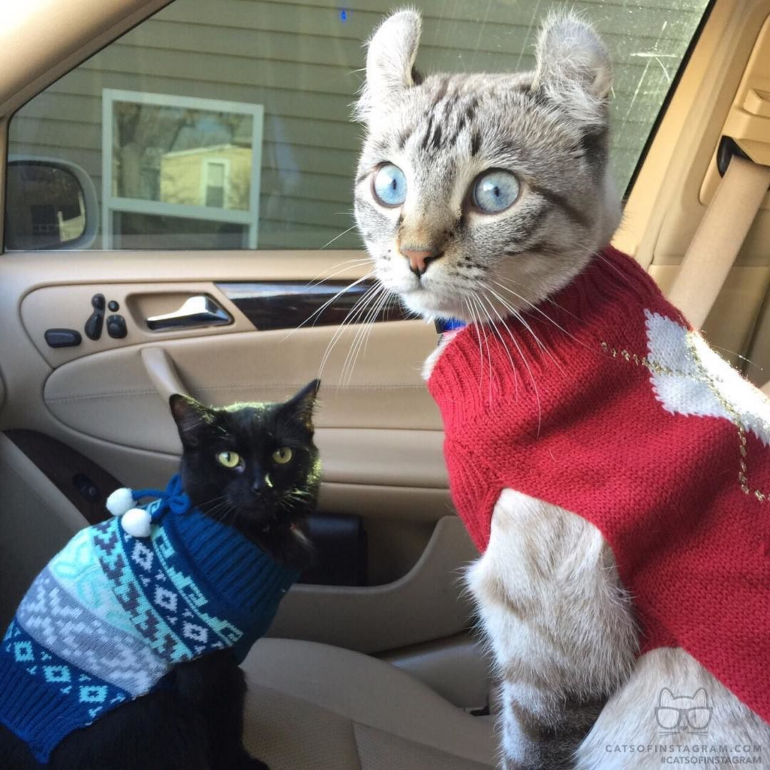 """From @Reynathesnowlynx: """"Is it too soon for ugly Christmas sweaters? """" #catsofinstagram by cats_of_instagram"""