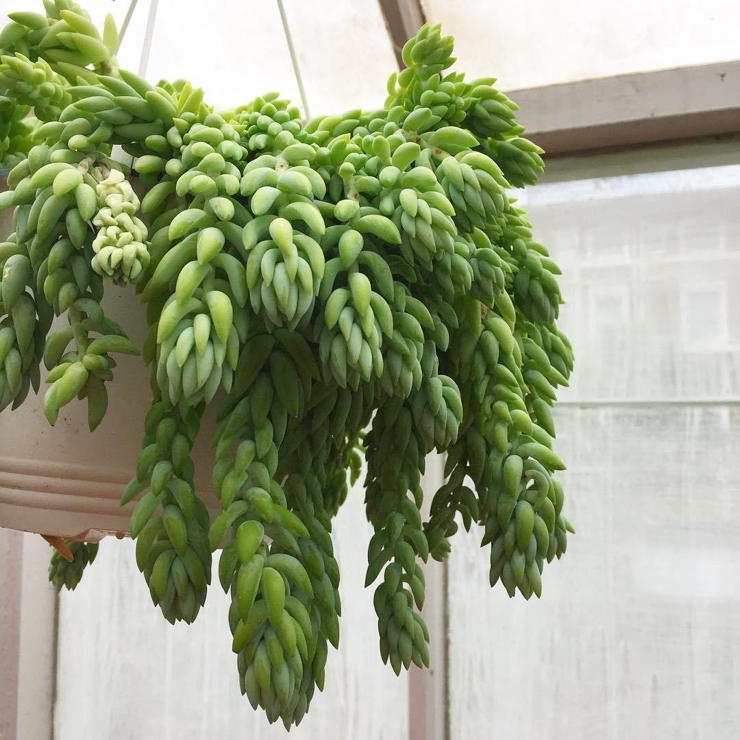planta colgante cola de burro