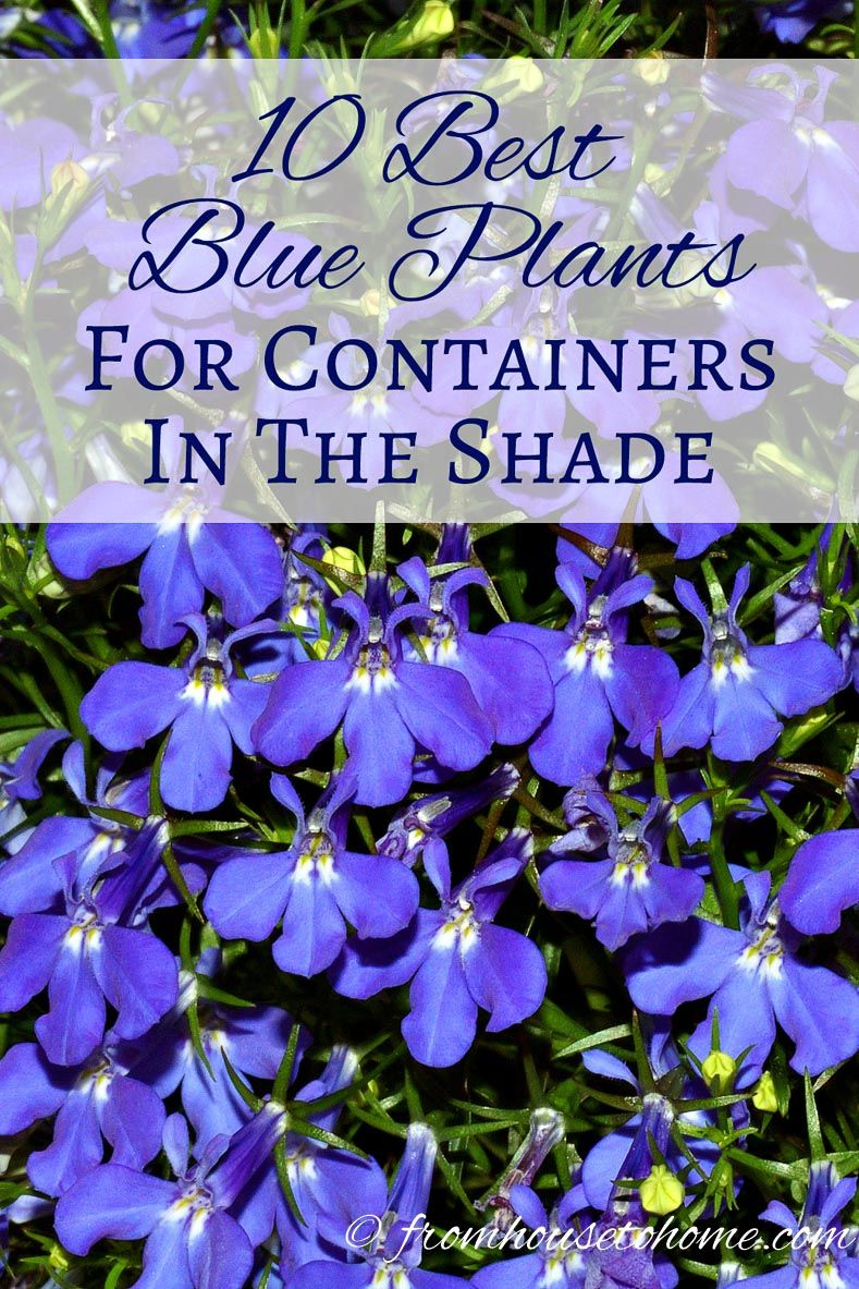 10 Best Blue Plants For Containers In The Shade Gardening From