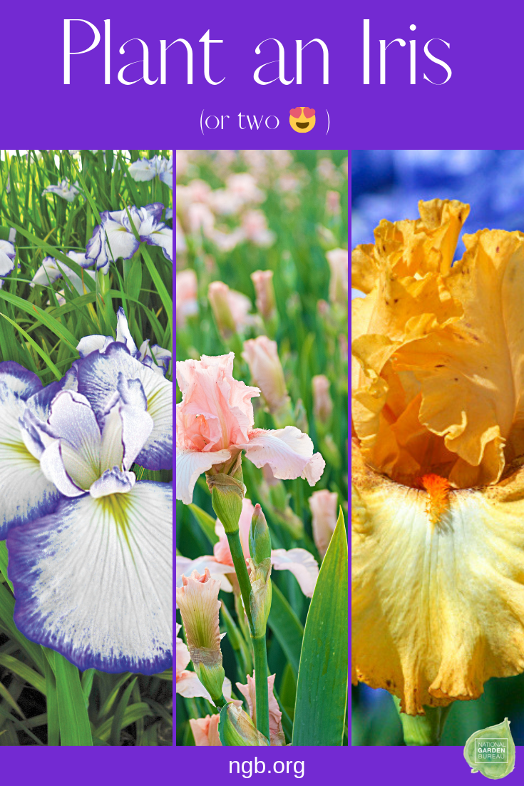 How To Plant Iris And Many Different Varieties Fall Bulb Planting Planting Bulbs Garden Bulbs