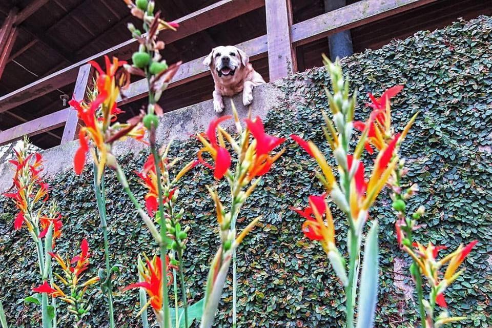 dog, labrador, lab, flowers, flores, cachorro, dog, cute | créditos: Tati Prisco Nassr