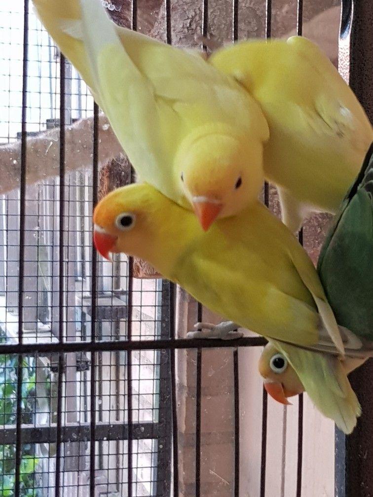 Lovebird Jantan Betina : lovebird, jantan, betina, Agaporniden,, Lovebirds