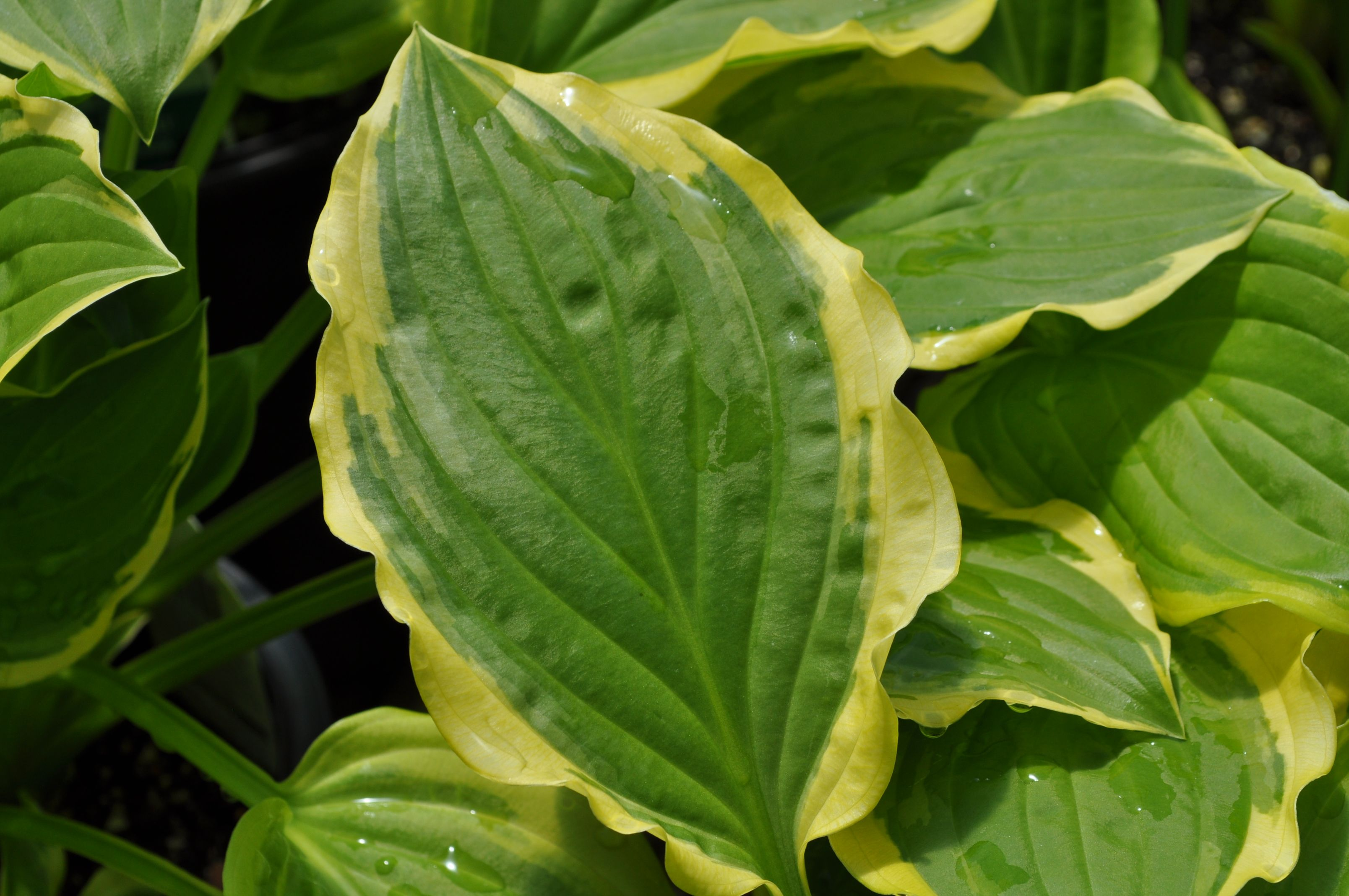 Hosta So Sweet Glossy Green Leaves With A Creamy White Margin