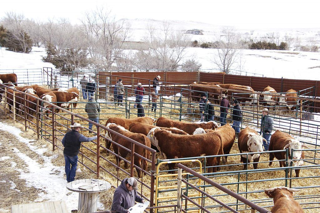 Carmichael herefords 51st annual proven bull sale