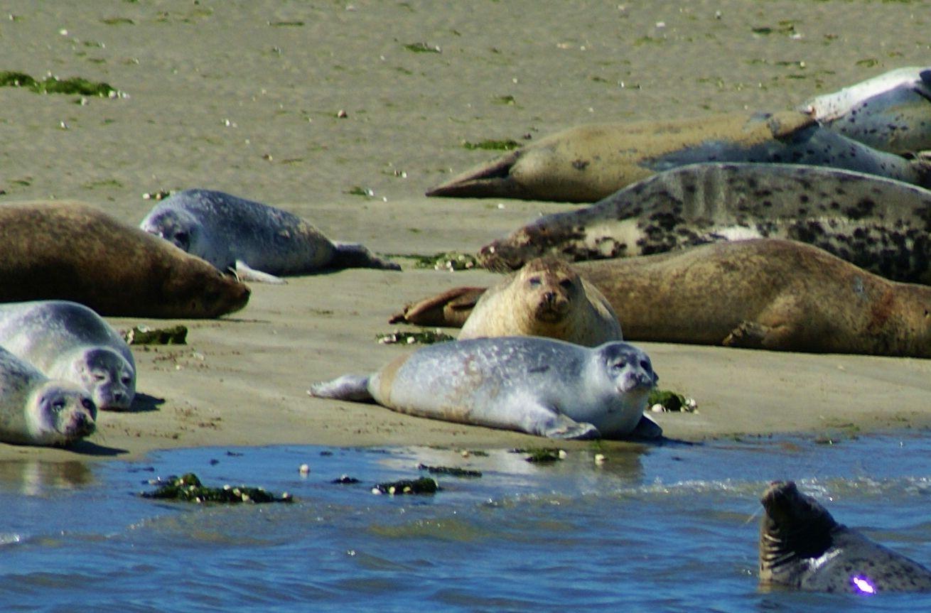 Zeehonden Oosterschelde Seals In Zeeland Holland Zeehonden Nederland Zeehond