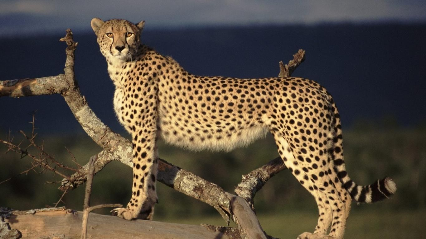 wild cats of the world cheetah the most dangerous and