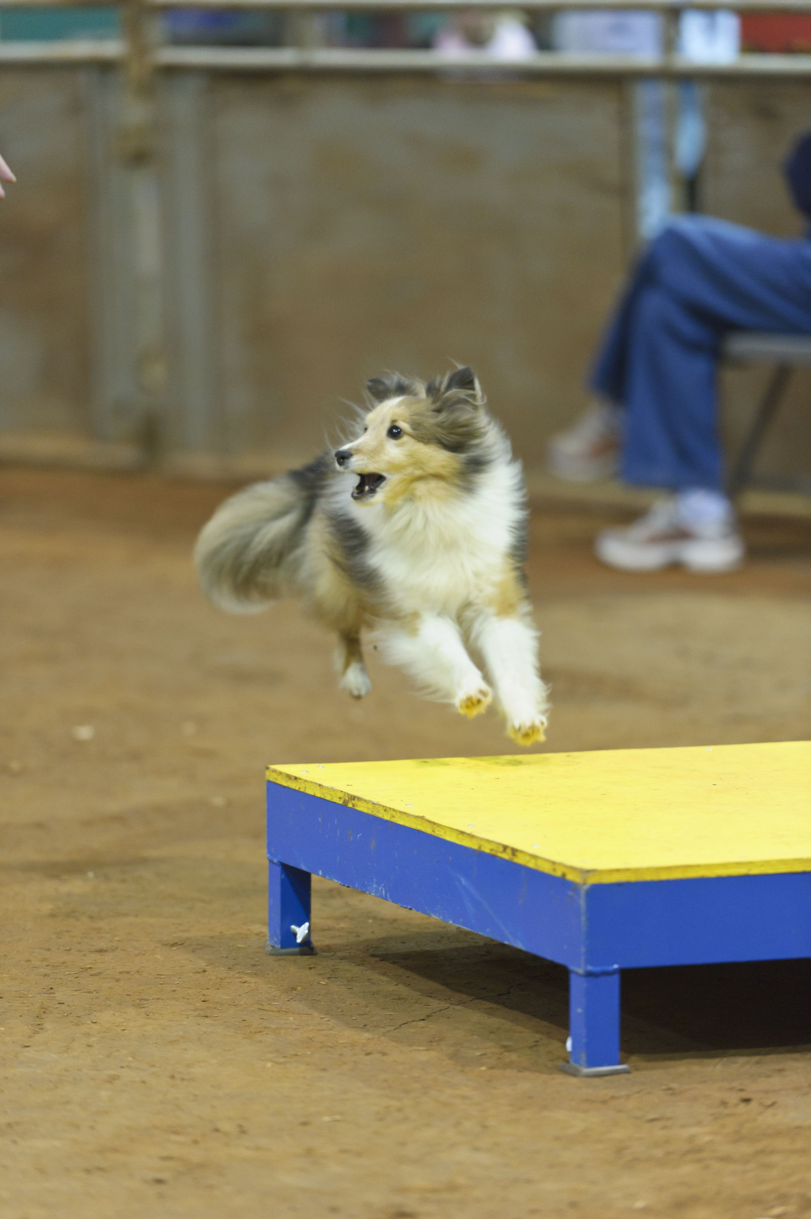 Deciphering The Akc S Lifetime Achievement Titles In Agility The