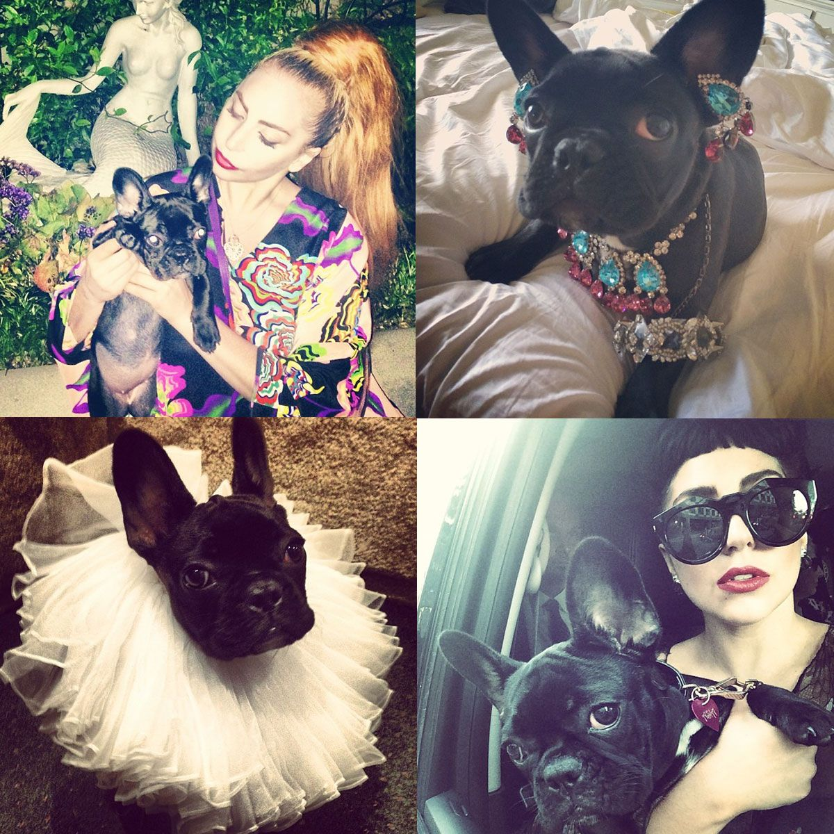 an ode to lady gaga s dog asia celebrity dogs lady gaga bulldog
