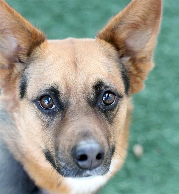Maddie SPCA of Texas (McKinney) 83440 Pets, Dog