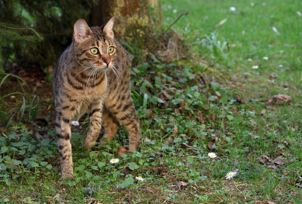 Best Bengal Kittens For Sale In FL (With images) Bengal