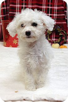 Bell Adopted Puppy Loomis Ca Maltese Poodle Toy Or Tea Cup Mix Maltese Poodle Puppy Adoption Tea Cup Poodle