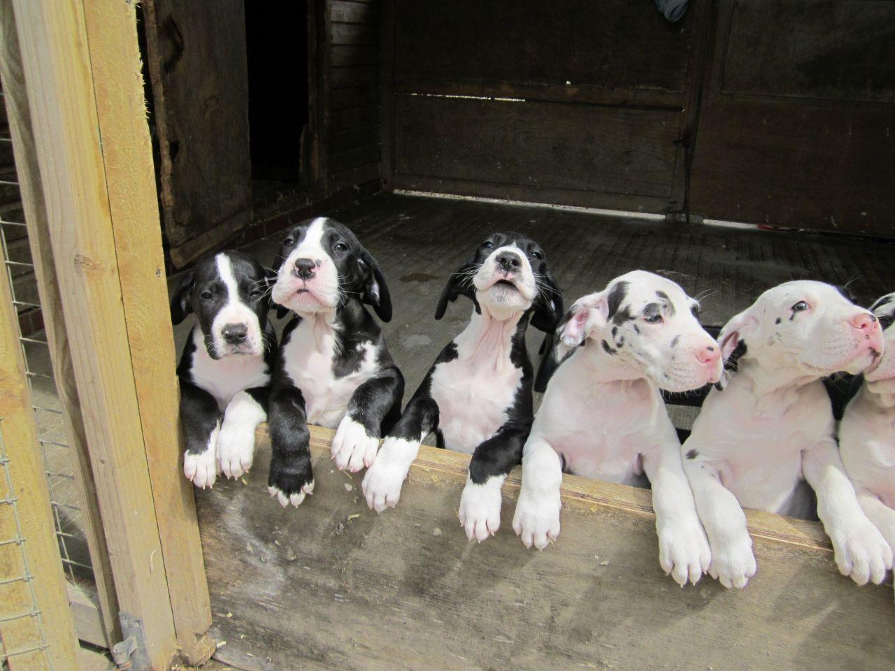 Damarkann Great Dane Puppies Dane Puppies Great Dane Puppy