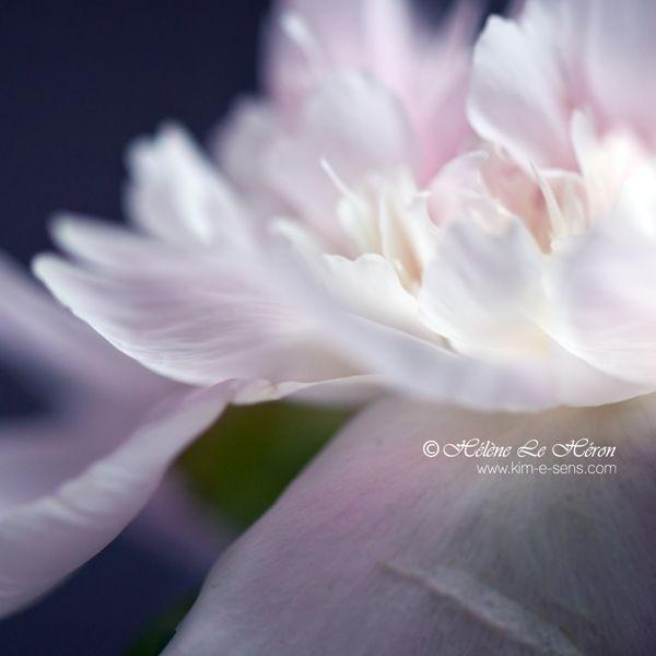 white-hot waterlily by *kim-e-sens,Flower,Pink