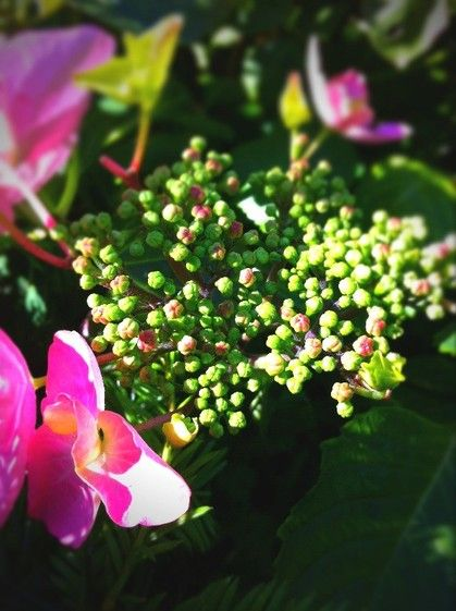 The season of the hydrangea started.