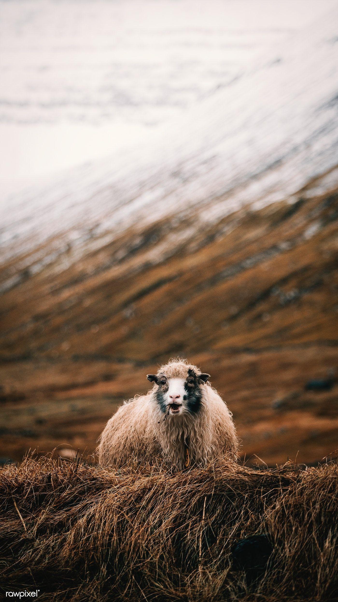 Download premium image of Faroe sheep in the field 2208538
