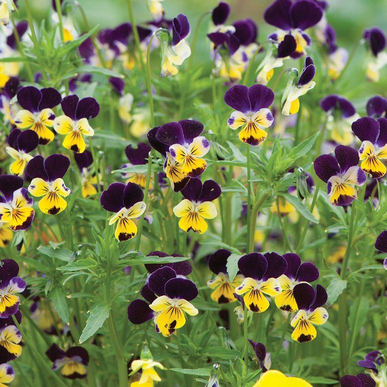 Helen mount viola seed seed pack pansies viola flower
