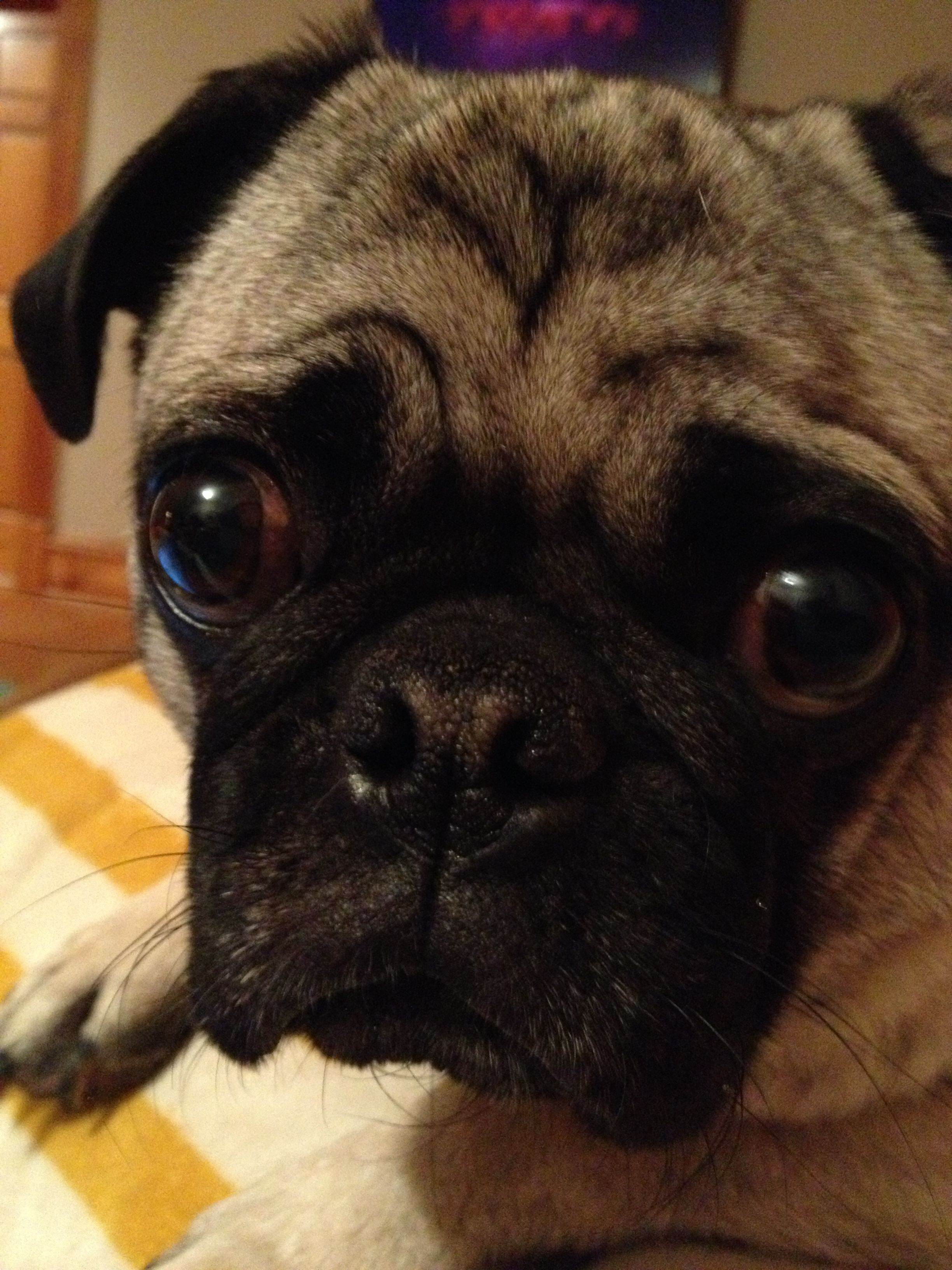 Good Morning, Pugterest! Pug love, Puppy love, Pugs