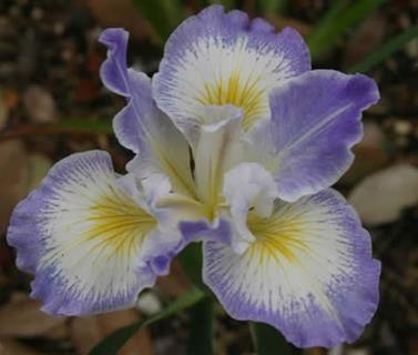 Society for Pacific Coast Native Iris - Pacific Coast