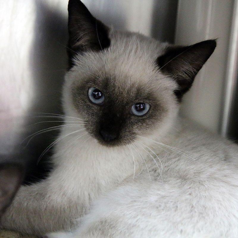 Main Photo Of Jackson Earl Cat Adoption Kitten Adoption Cute Cats
