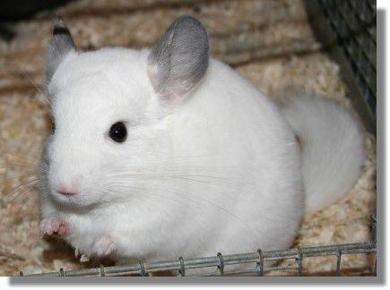 I Want A Chinchilla Chinchilla Pets Cute Animals