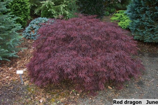 Japanese Maples Acer Palmatum Laceleaf Or Dissectum Japanese Maples