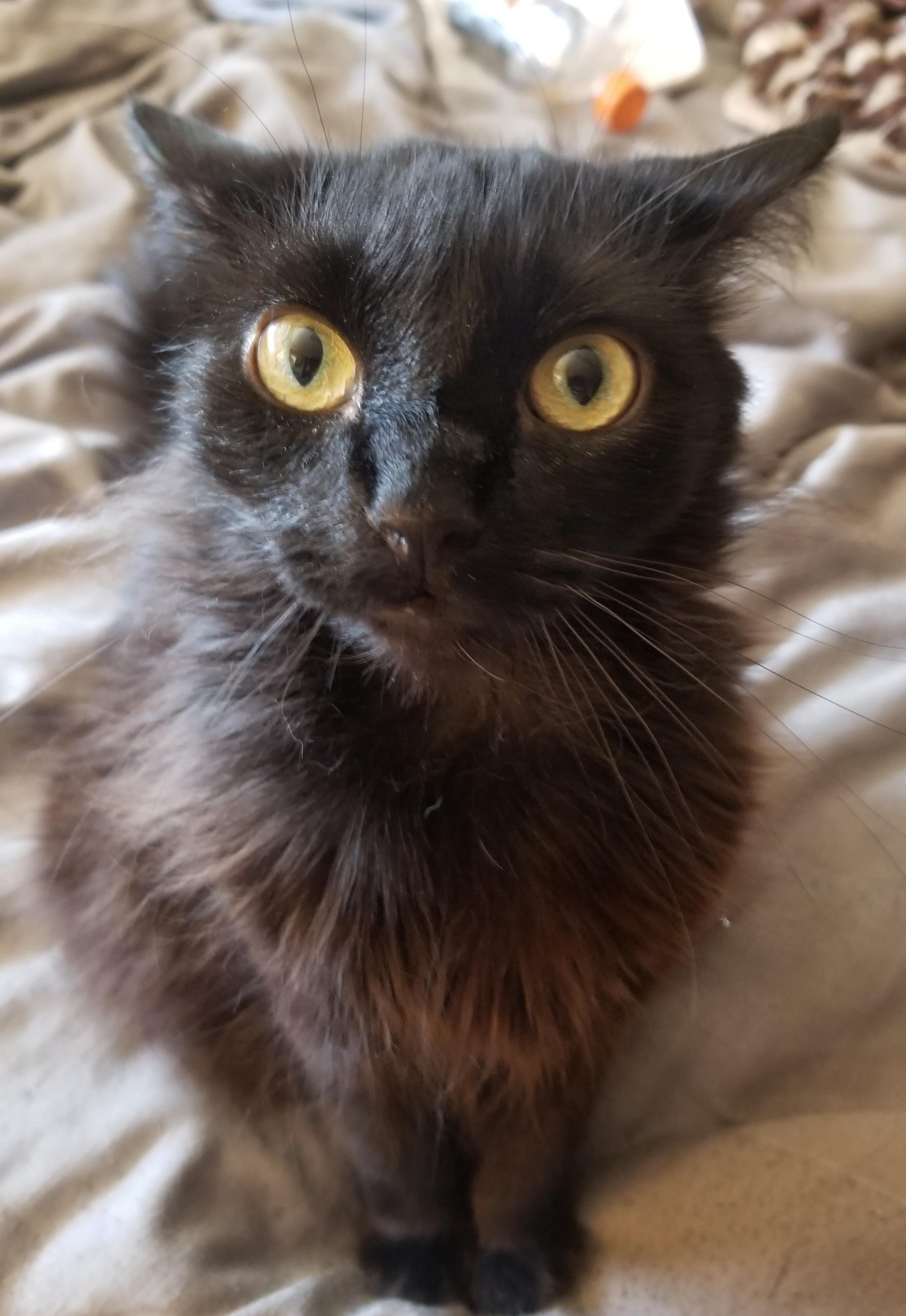 My Hyperactive Little Apollo And His Crazy Eyes Hello There Bright People Are You Catlover Or Have You Any Pre Cat Having Kittens Cat Has Fleas Cat Fleas