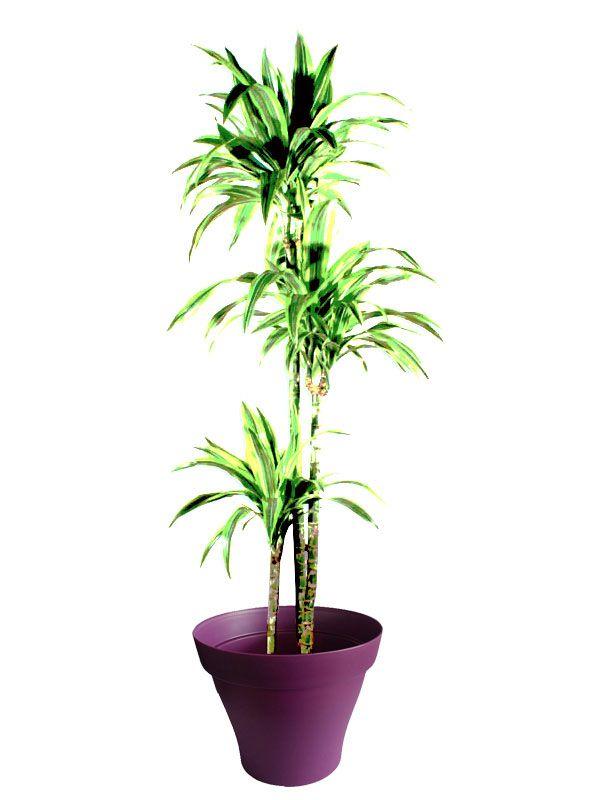 Dracaena lemon lime avec cache pot violet   Plantes d\'intérieur avec ...