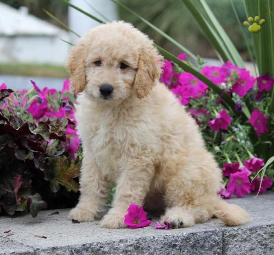 Adorable Mini Goldendoodle Puppy Archie Is A 2nd Generation Mini