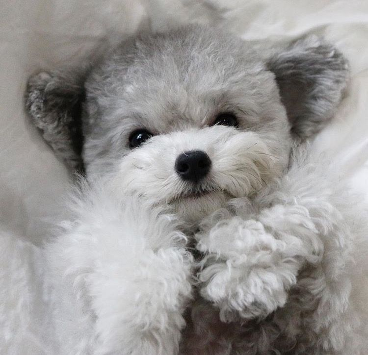Small Toy Puppies : Toy poodle puppy poodles pinterest