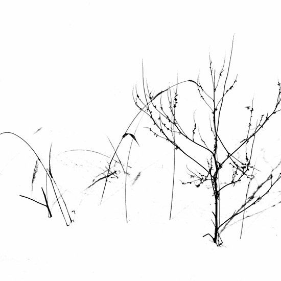 winter s garden guelph ontario canada art photography decor Ontario Golden Horseshoe winter s garden guelph ontario canada art photography decor artforsale blackandwhite plants snow wiinter nature naturelovers