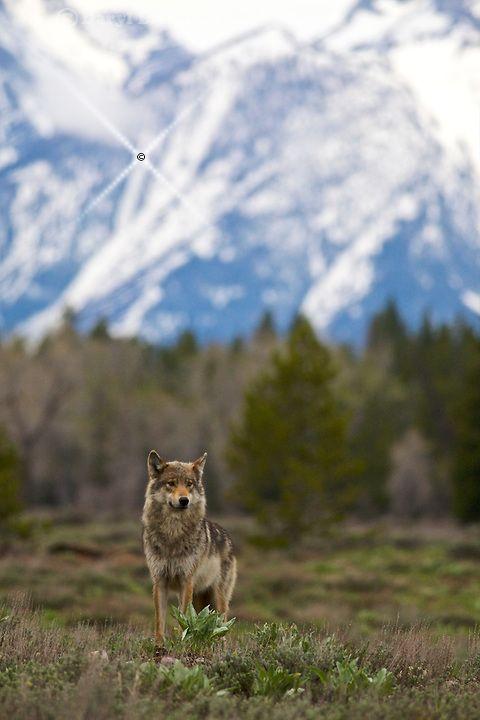 Grey Pacific Creek Wolf, Grand Tetons, Grand Teton National Park #rock #climb #trek #hike #travel