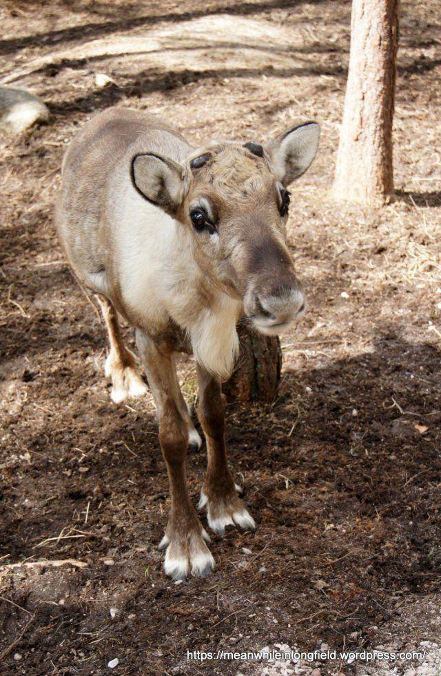Poropuisto Nuuksio Espoo, Reindeer park in Finland