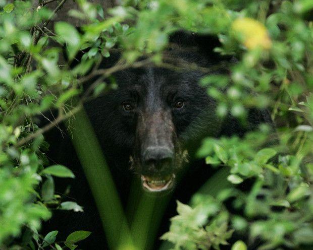 Black Bears In Northeast Texas Face New Threat Black Bear Hunting Bear Hunting Black Bear