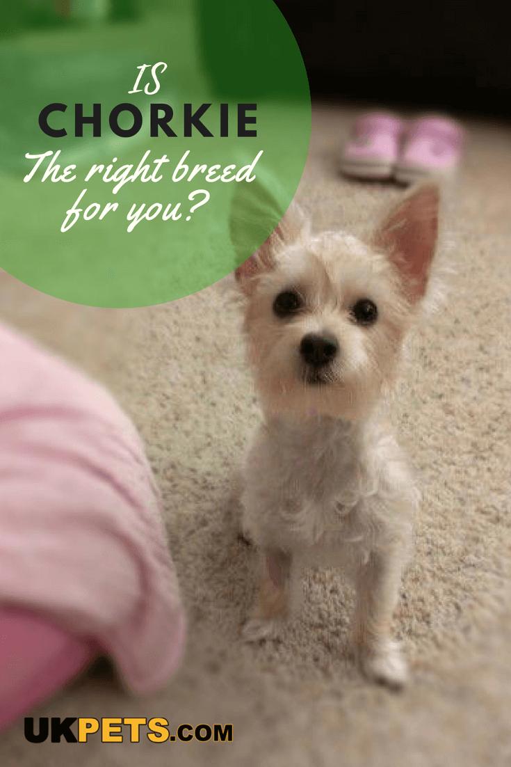 Chorkie Dog Breed Information Uk Pets Dog Breeds Dog Pet Beds Dog Personality