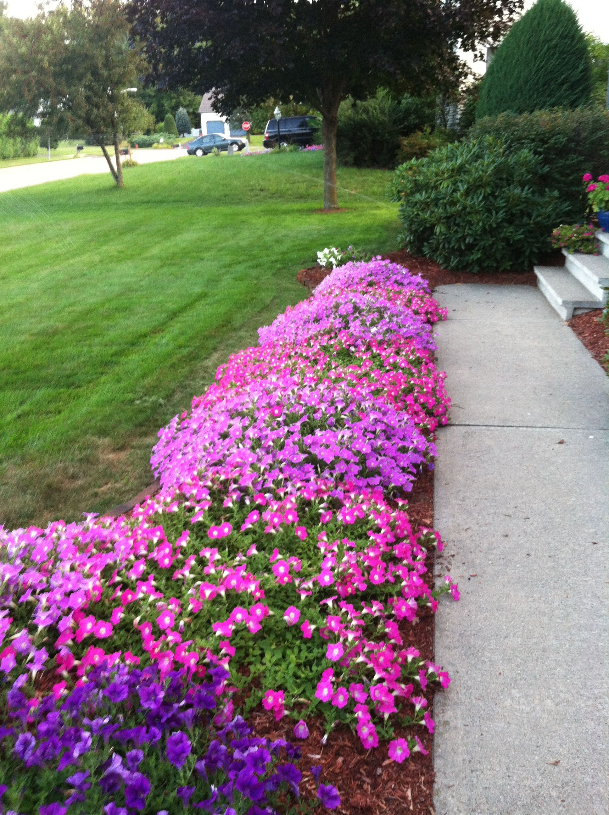 Creeping Petunia That Border Our Side Walk Did Well With