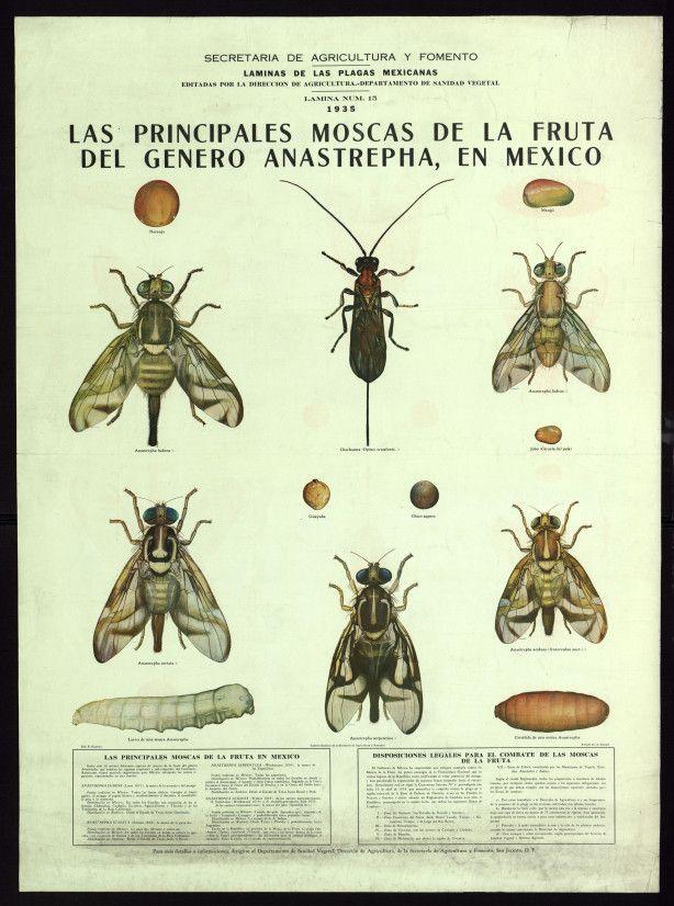 Principales moscas de la fruta del género Anastrepha, en México ...